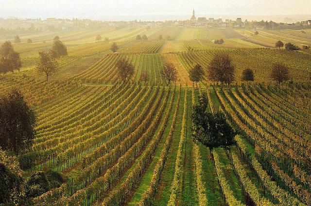 Vorarlberg vineyard
